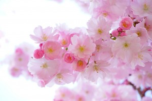 japanese cherry trees 324175 1280