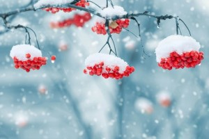 snow on berries 1379880 640